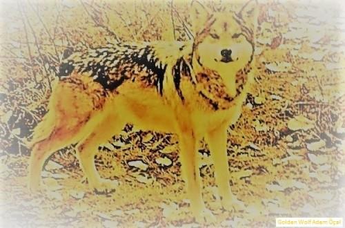 Golden-Wolf-Adem-Ocal.jpg